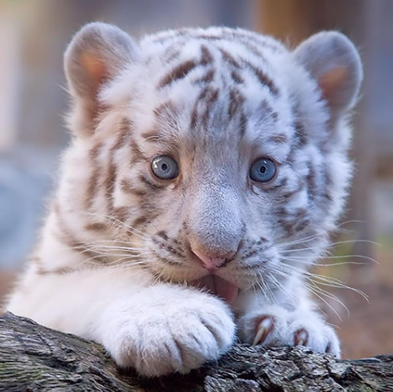 White Tiger Cub Wallpaper Walltor 800x799