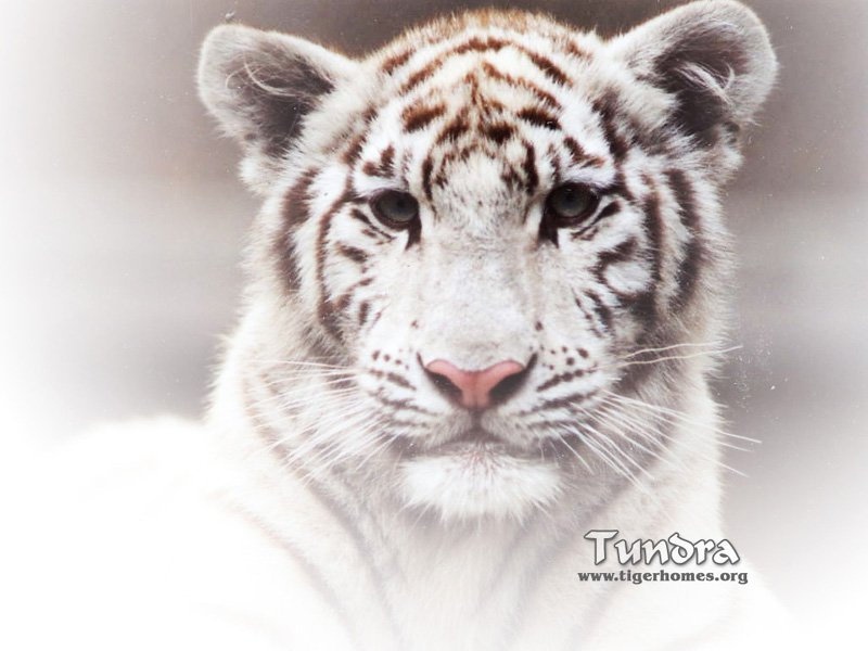 Animals Zoo Park White Tigers Tiger Cubs Photo Gallery Pictures   Zoo 800x600