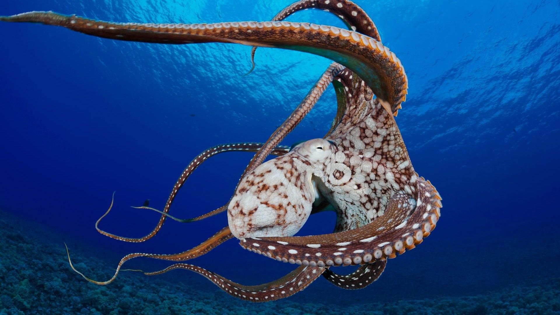 beautiful octopus wallpaper - photo #8