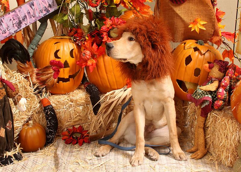 Homemade Lion Costume Homemade Dog Halloween Costume 800x571
