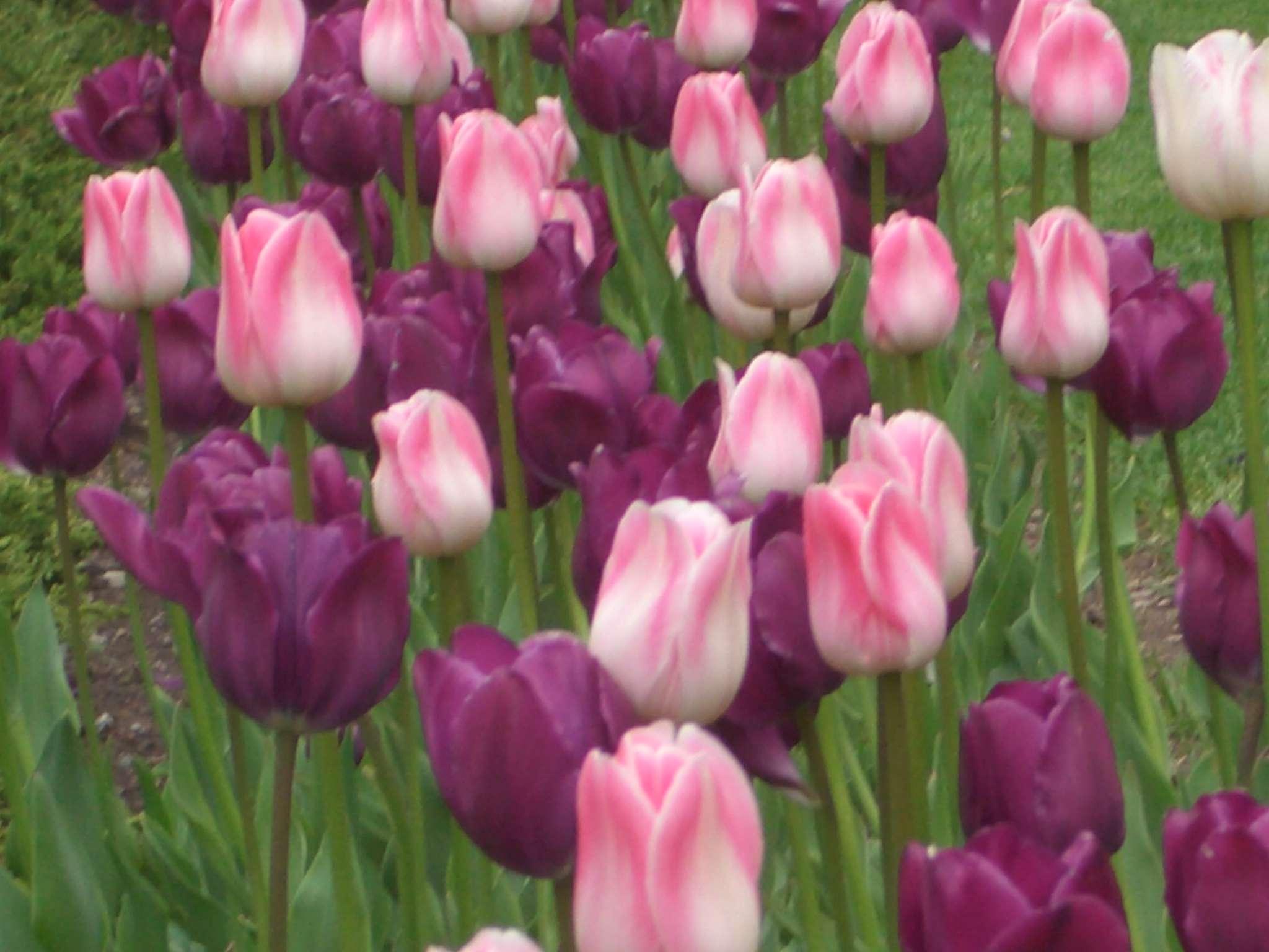 Tulips PurplePink HD Wallpapers Picturenixcom 2048x1536