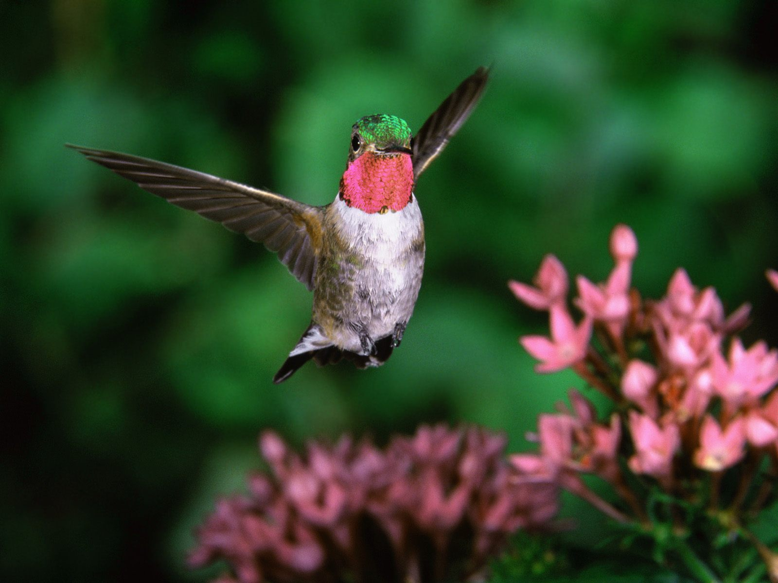 Broadtail Humming Bird Wallpapers HD Wallpapers 1600x1200