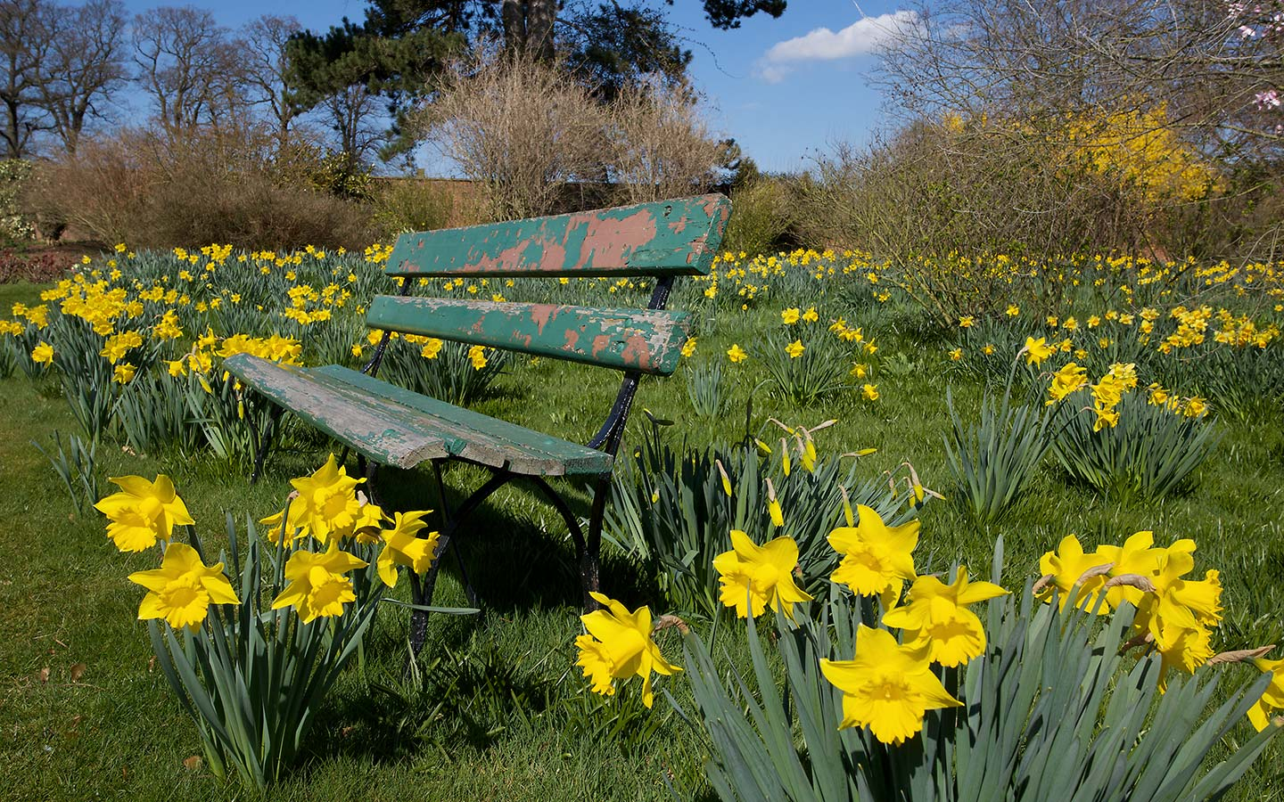 Daffodils Flower Garden Wallpapers 1440x900