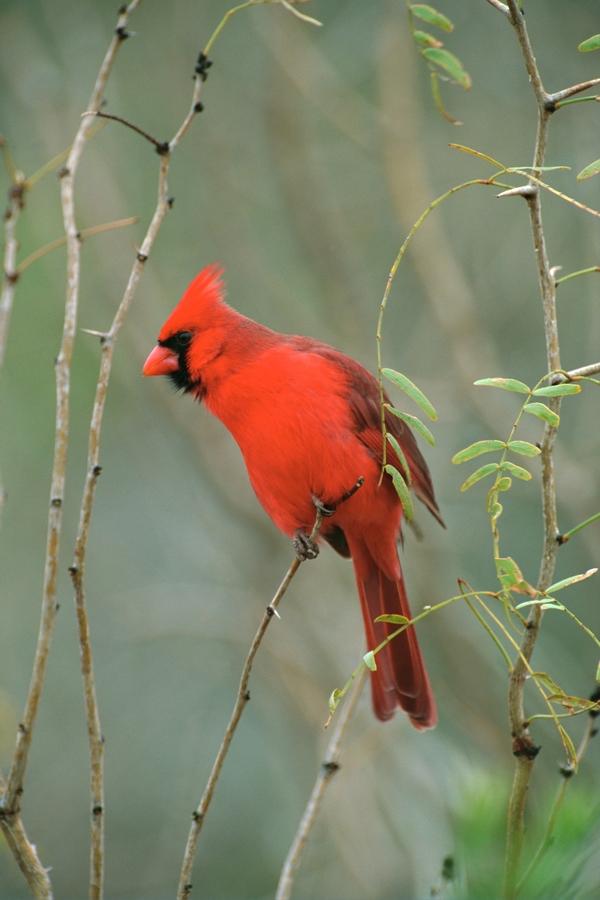 birds northern cardinal 2048x3072 wallpaper wildlife Wallpapers 600x900