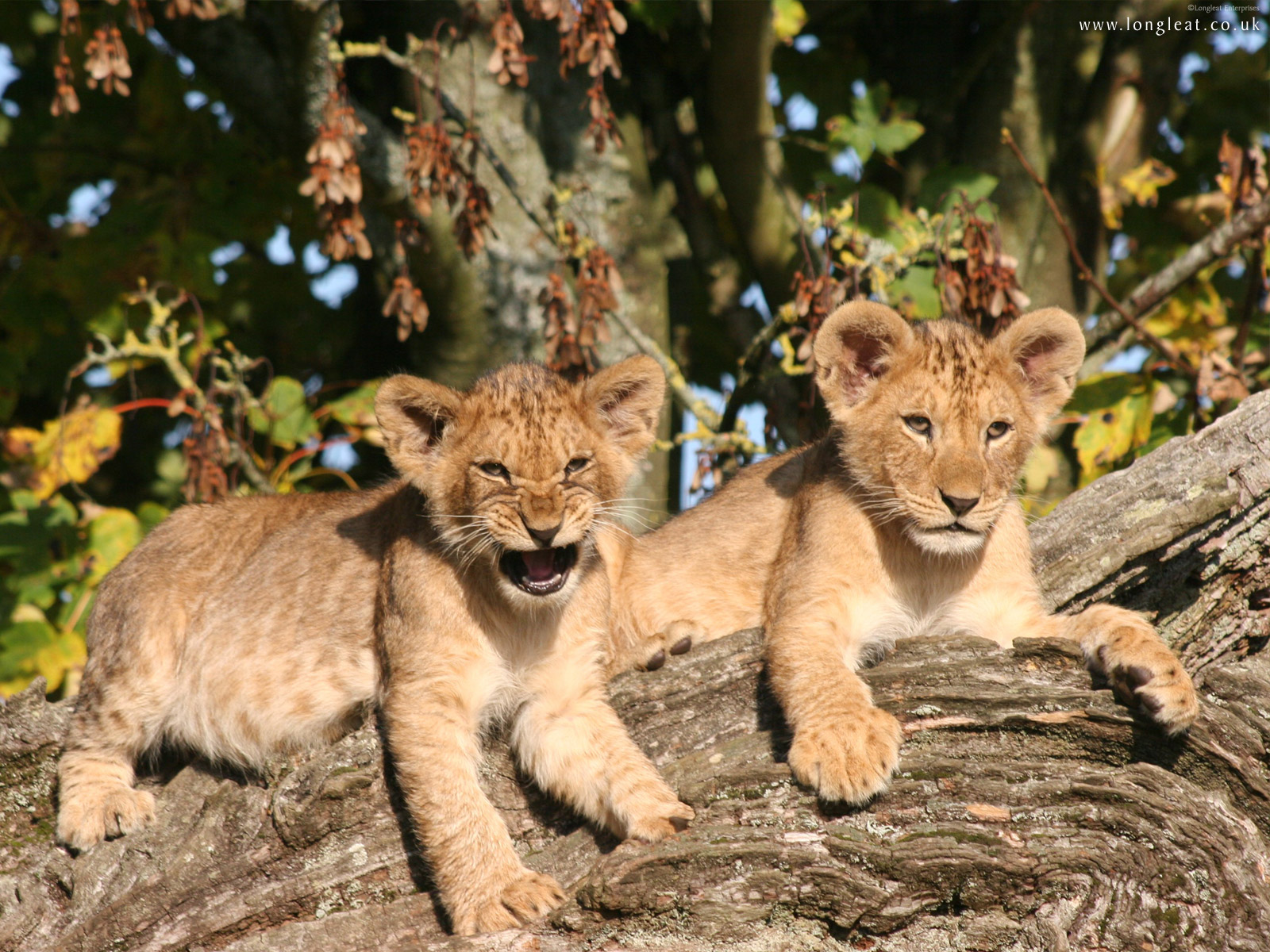lion cubs cute baby lion cubs cute baby lion cubs lion cubs baby lion 1600x1200