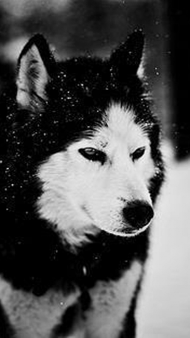 husky in snow iphone wallpaper