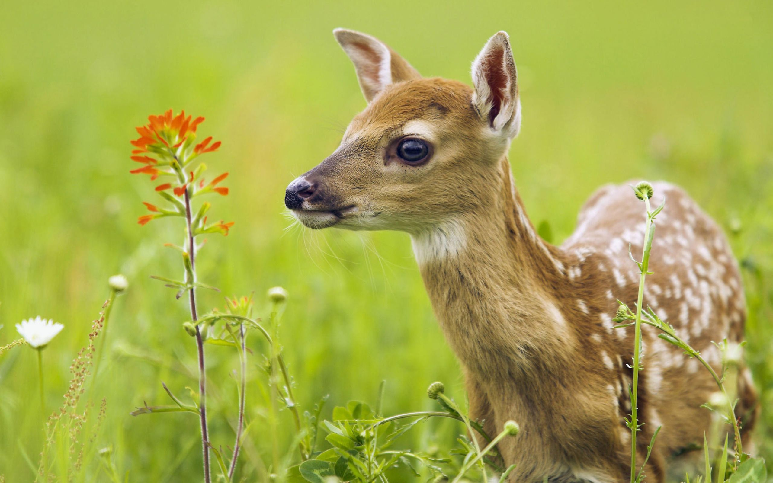 Cute Fawn wallpaper 2560x1600 12431 2560x1600