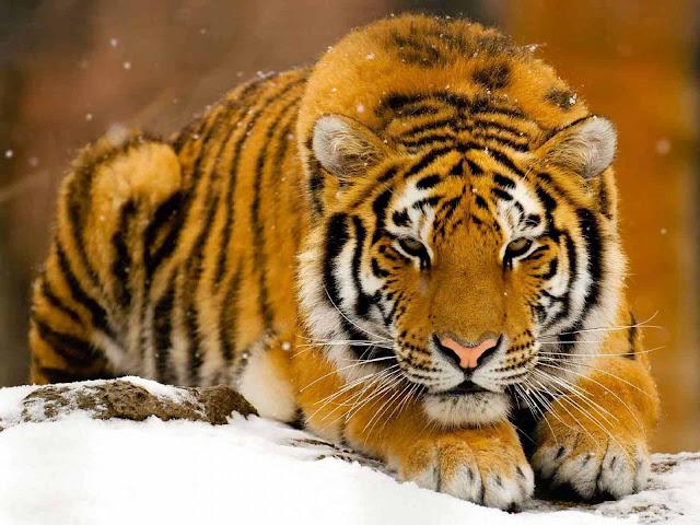 tigers wallpaper tigers wallpaper tigers wallpaper tigers wallpaper 640x480