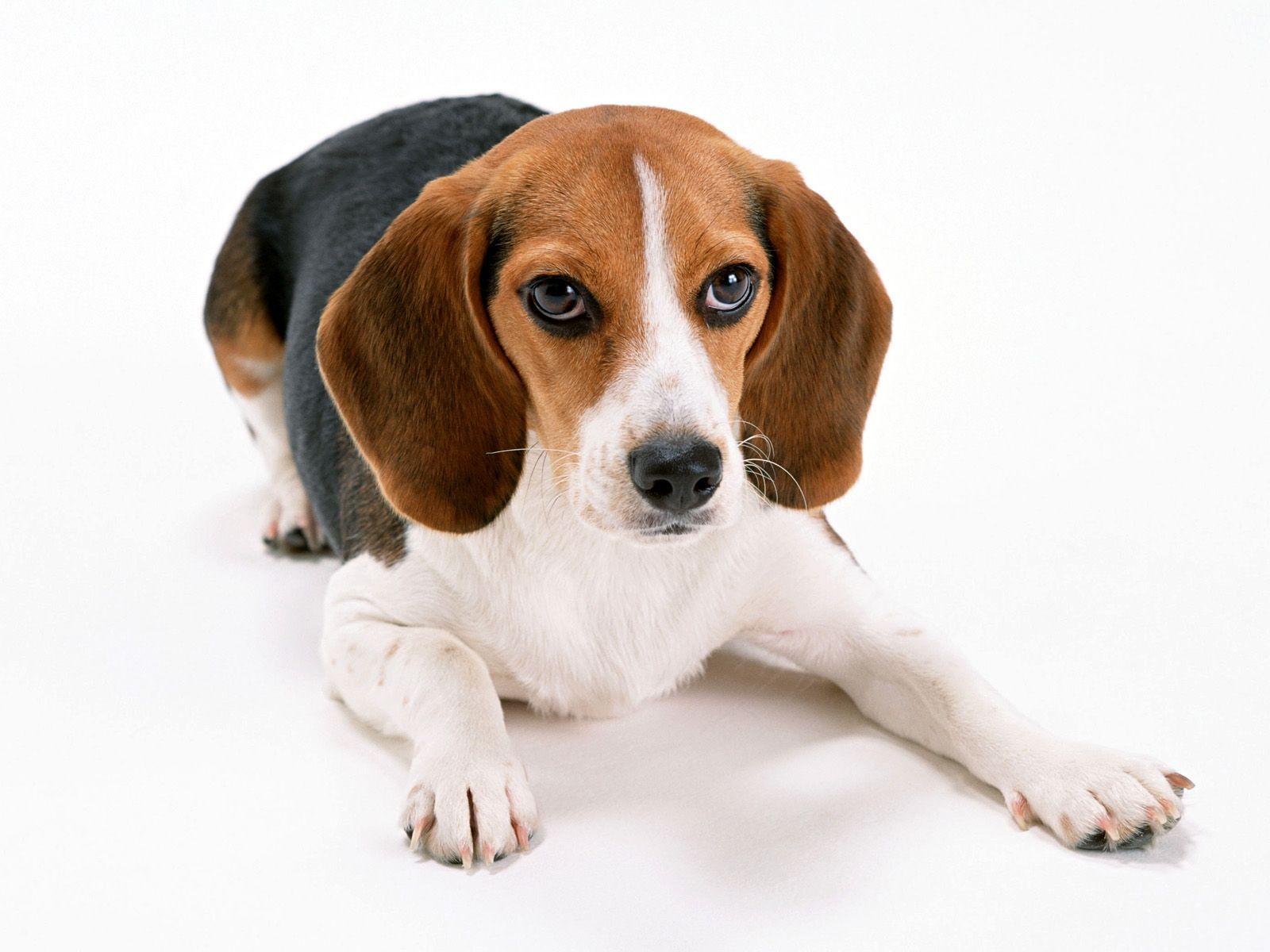 Beagle   Wallpaper 31459 1600x1200