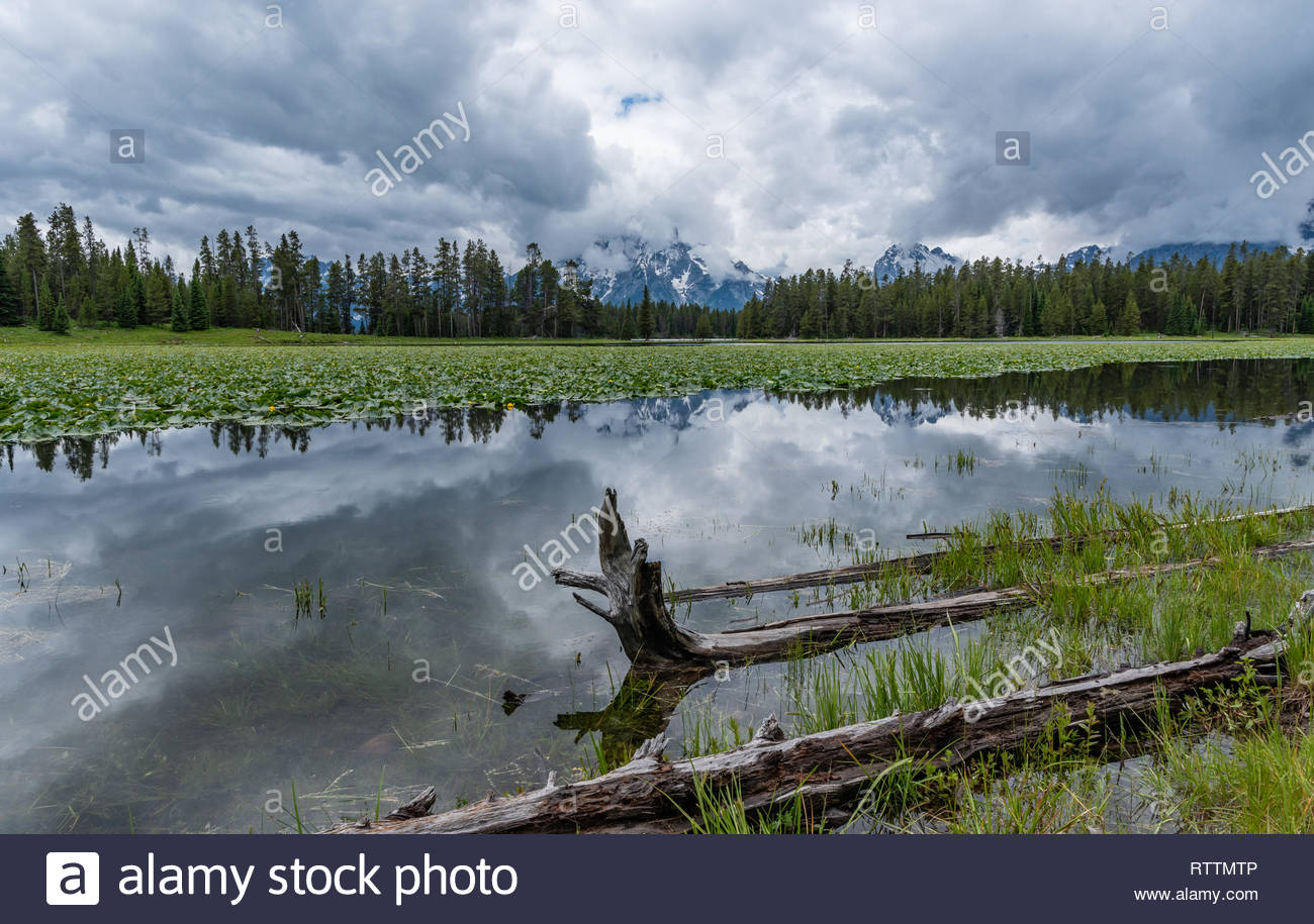 Lily Pads Cover the Surface of Heron Pond with Tetons in 1300x915