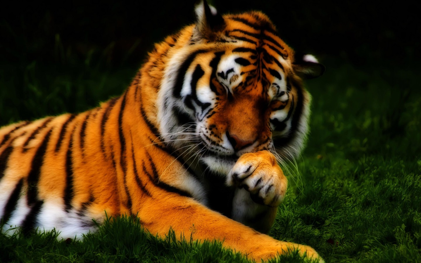 Beautiful tiger   a shy wild animal 1440x900