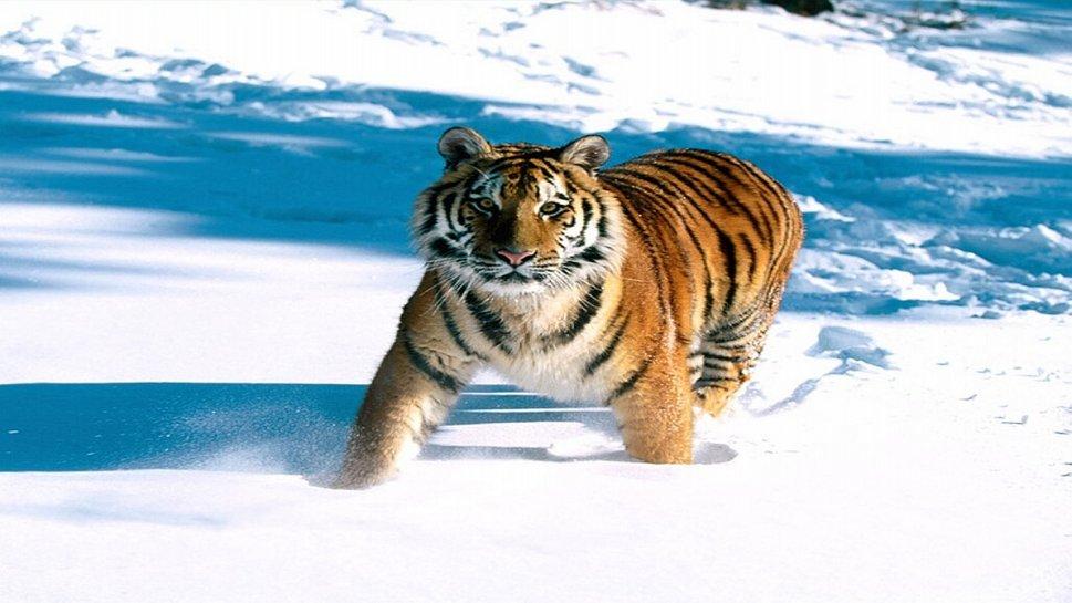 dier wallpapers planeet sneeuw tijger papier hal afbeeldingen 969x545