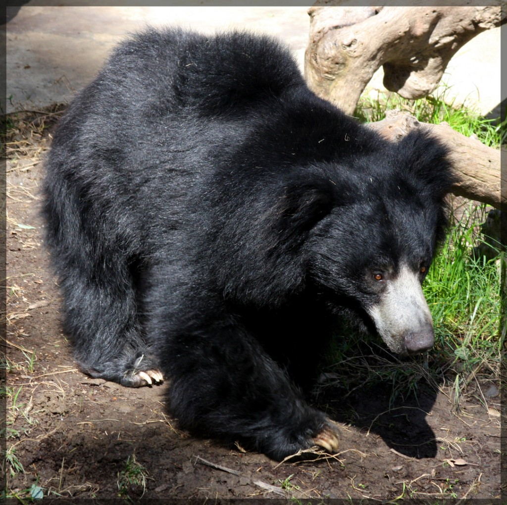 Free Bear Wallpapers For Desktop
