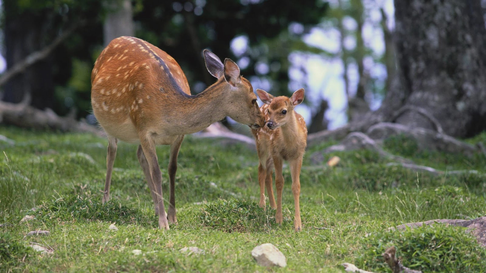Beautiful Wallpapers deer wallpaper 1600x900