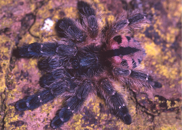 Colorful Tarantulas For Sale Most colorful tarantulas 640x455