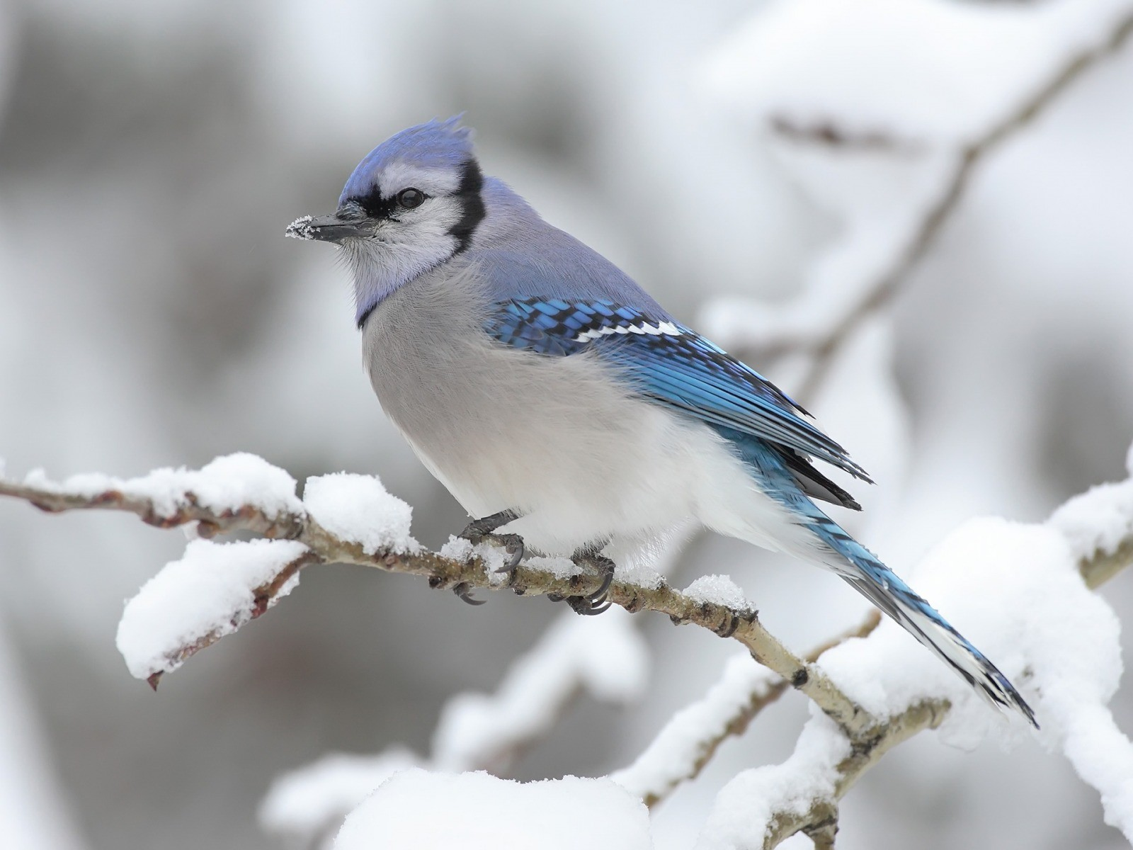 winter snow birds blue jay HD Wallpapers   Cihan Blog 1600x1200