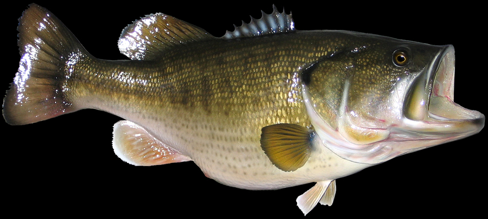 Largemouth bass open mouthed photo and wallpaper Cute Largemouth bass 948x426