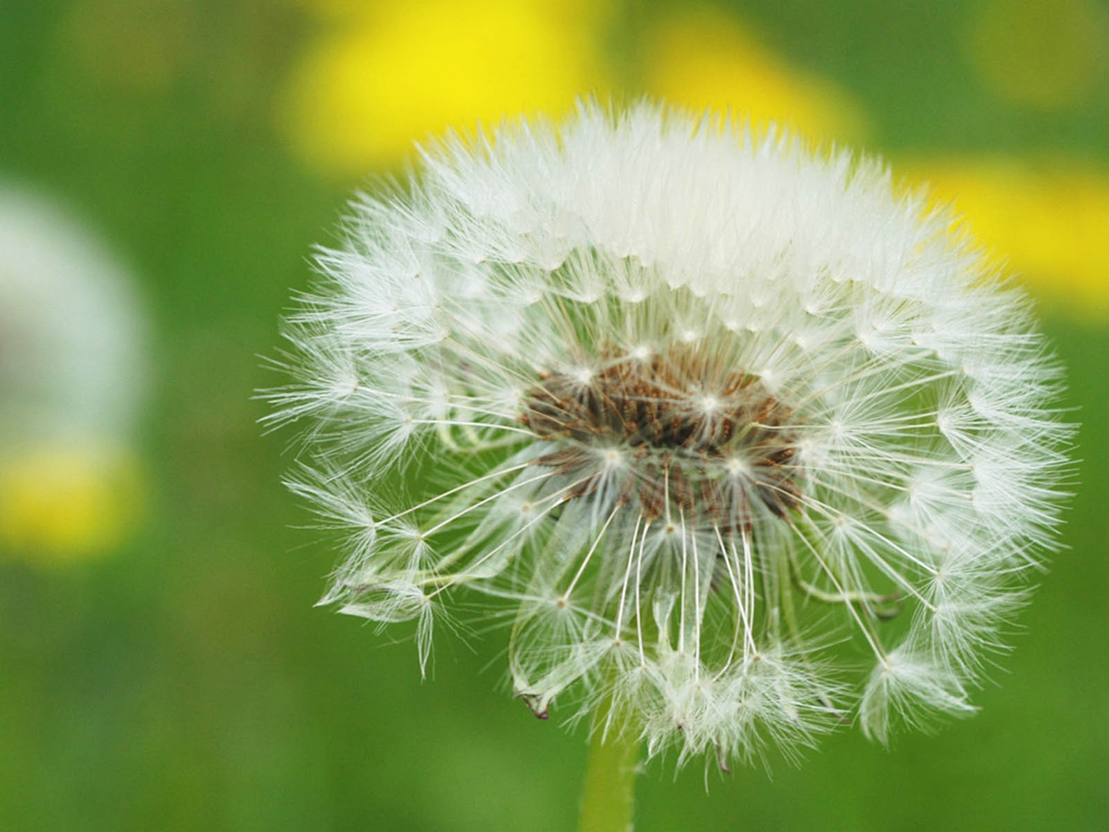 dandelions flower desktop backgrounds 1600x1200