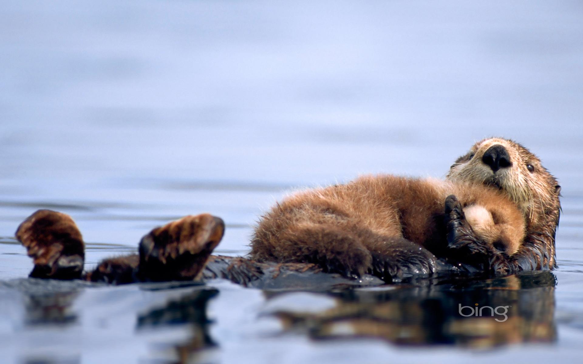 48 Otter Wallpaper By Bing On Wallpapersafari