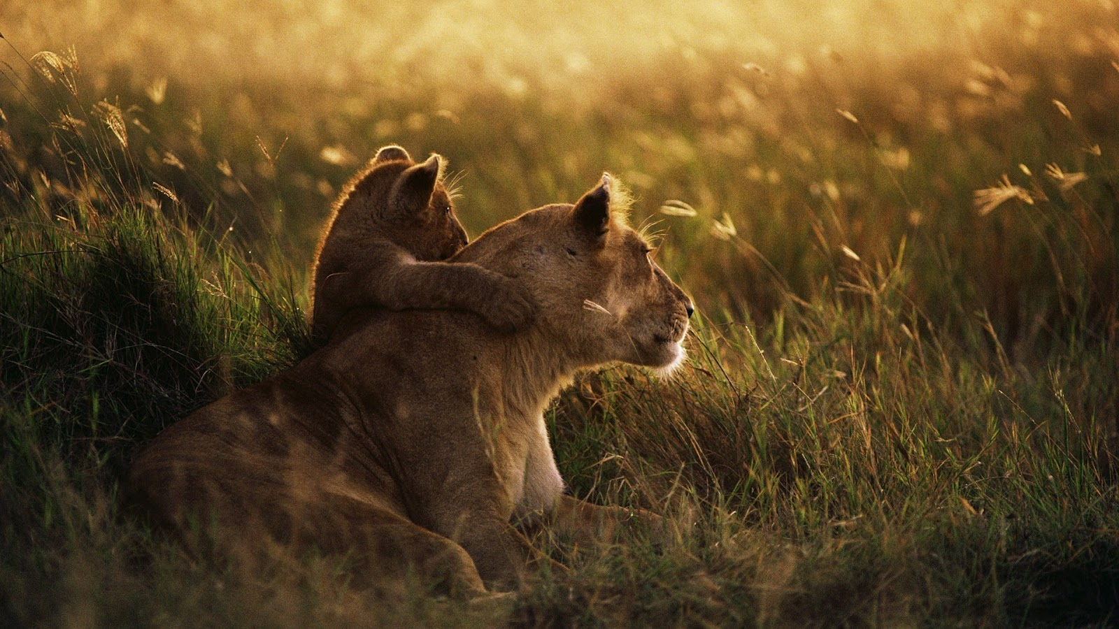 Baby Lion Hugs Mother Lion HD Wallpaper HD Nature Wallpapers 1600x900