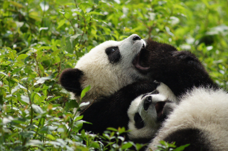 Panda pandas baer bears baby cute 33 wallpaper 2456x1632 364460 2456x1632