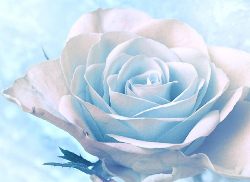 Beautiful white roses wallpaper wallpapersafari - Pretty roses wallpaper ...