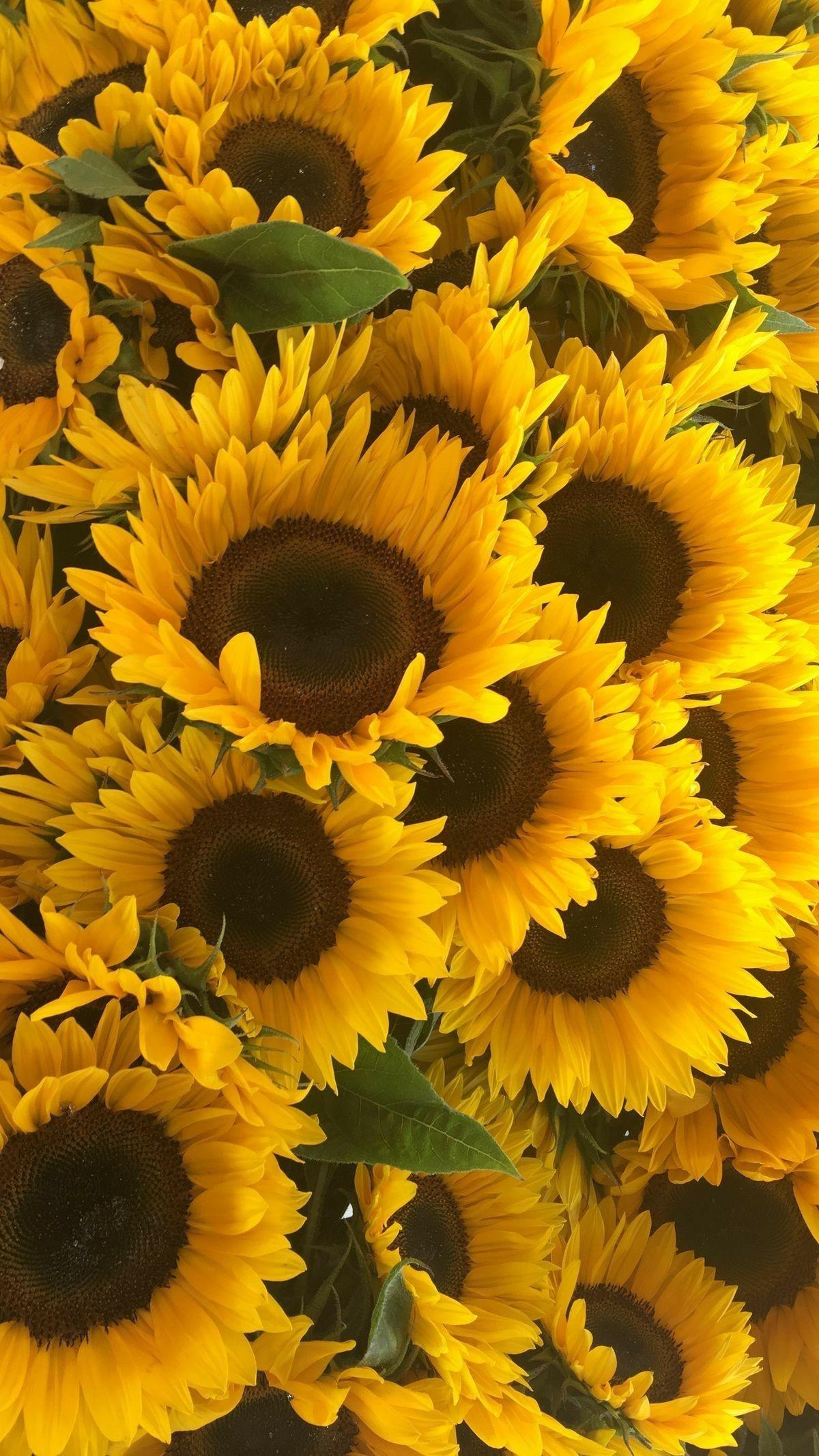 Sunflower Wallpaper Iphone X Hd Wallpapers backgrounds Download 1200x2133