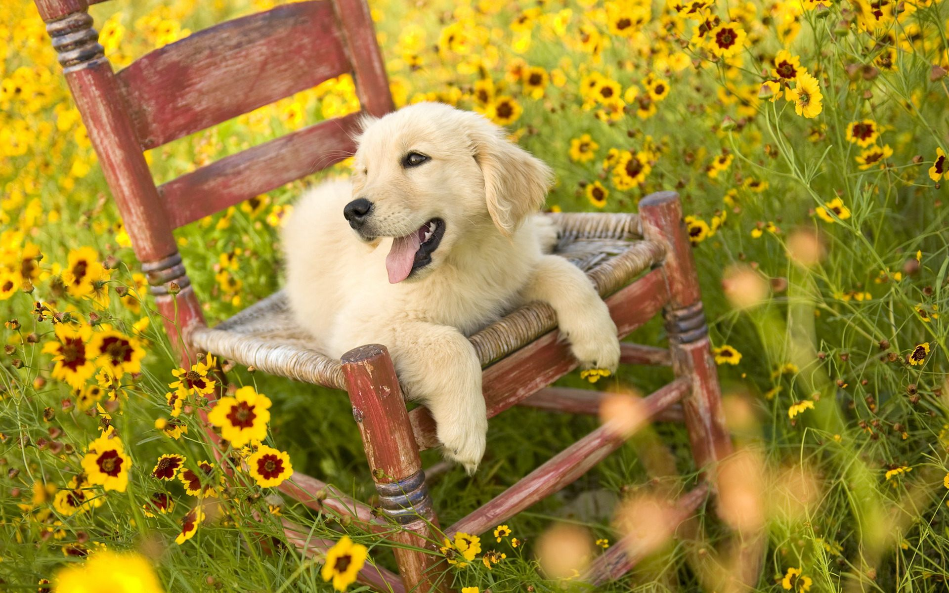 Golden Retriever Cute Puppy Wallpapers in HD for Desktop 1920x1200