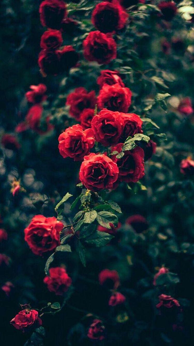 Beautiful Garden Red Roses Flowers iPhone 6 Wallpaper Flower 750x1334
