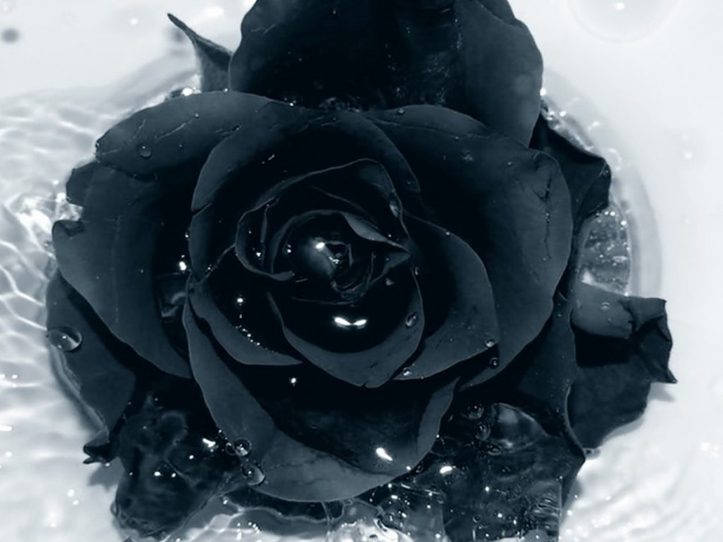 Black Rose Background