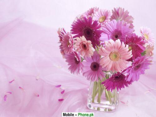 gerbera daisy others mobile wallpaperjpg 500x375