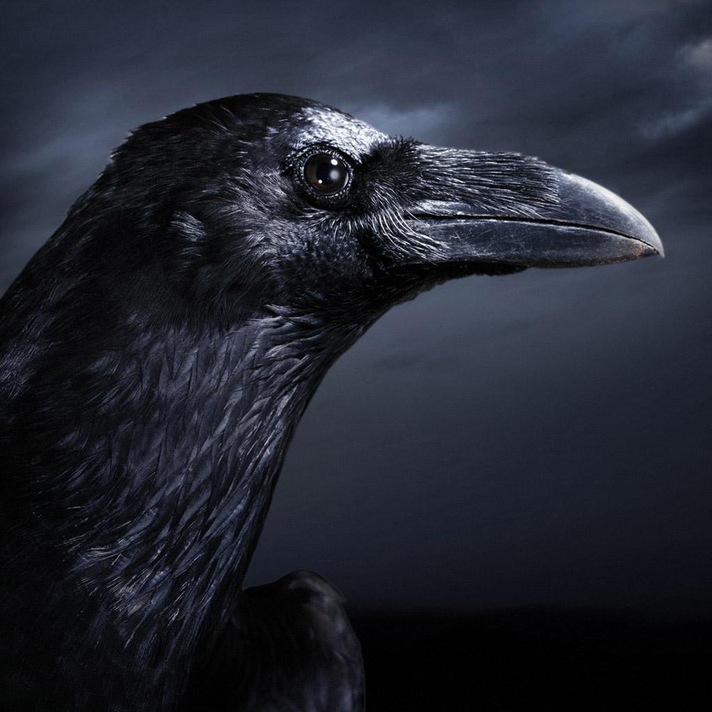 black crow wallpaper wallpapersafari