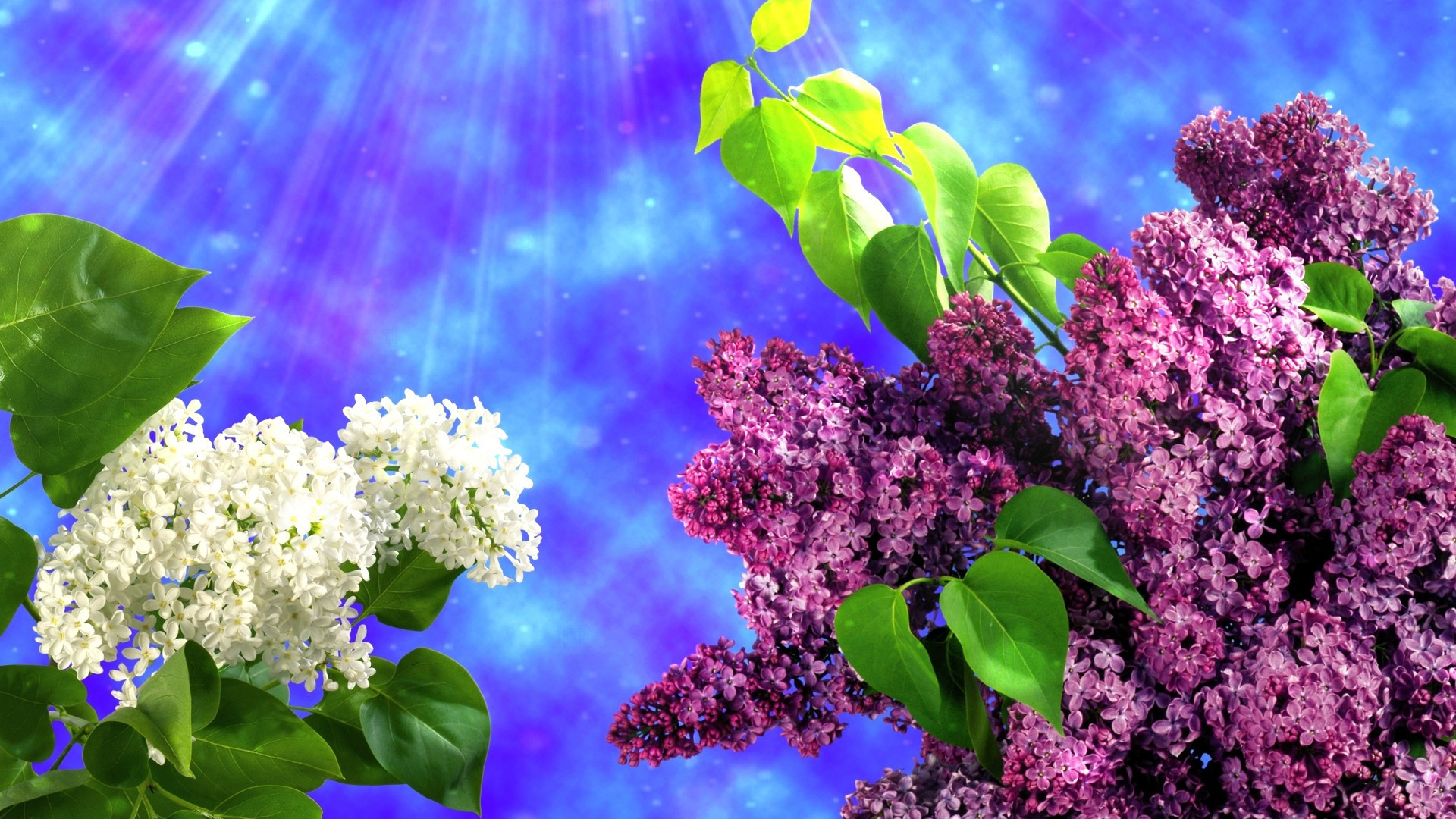 Two kinds of lilacs wallpapers and images   wallpapers pictures 1920x1080