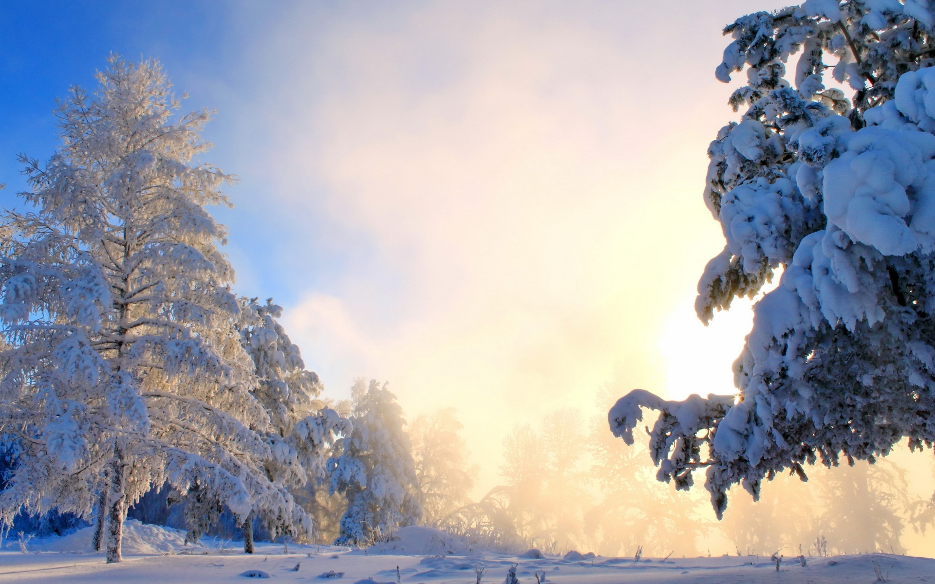 Download Snowy pine trees wallpaper 1920x1200
