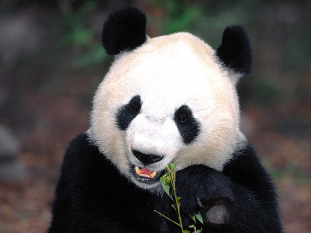 Funny etc Beautiful Panda Bear Wallpapers Desktop Laptop HD 1024x768