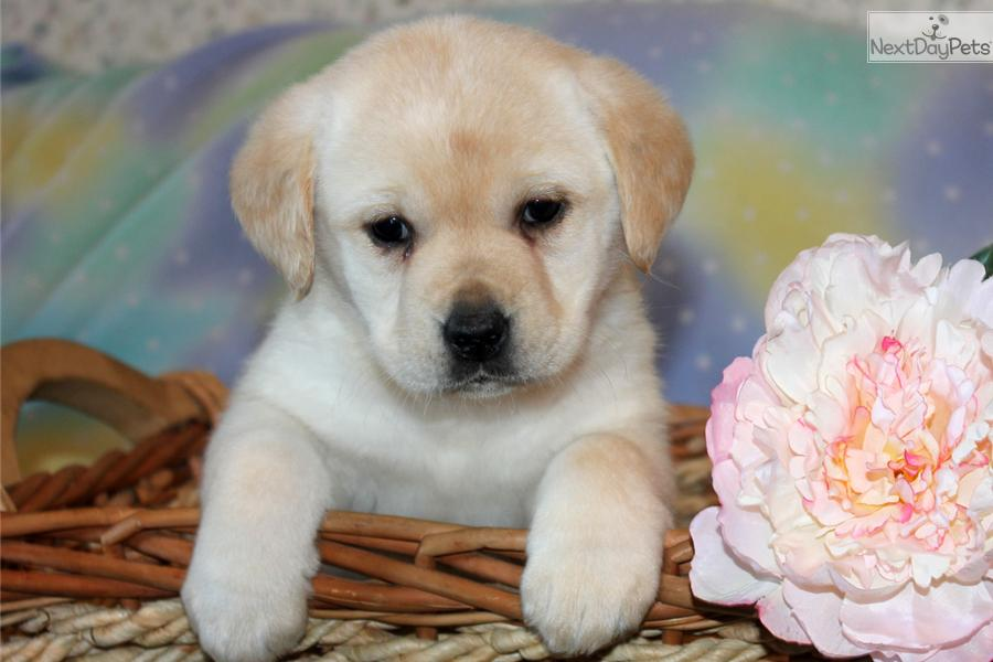 labrador retriever chocolate hd wallpapers and desktop wallpapers 900x600