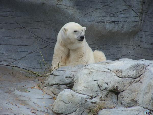 polar bears polar bears Bears Wallpapers Desktop 600x450