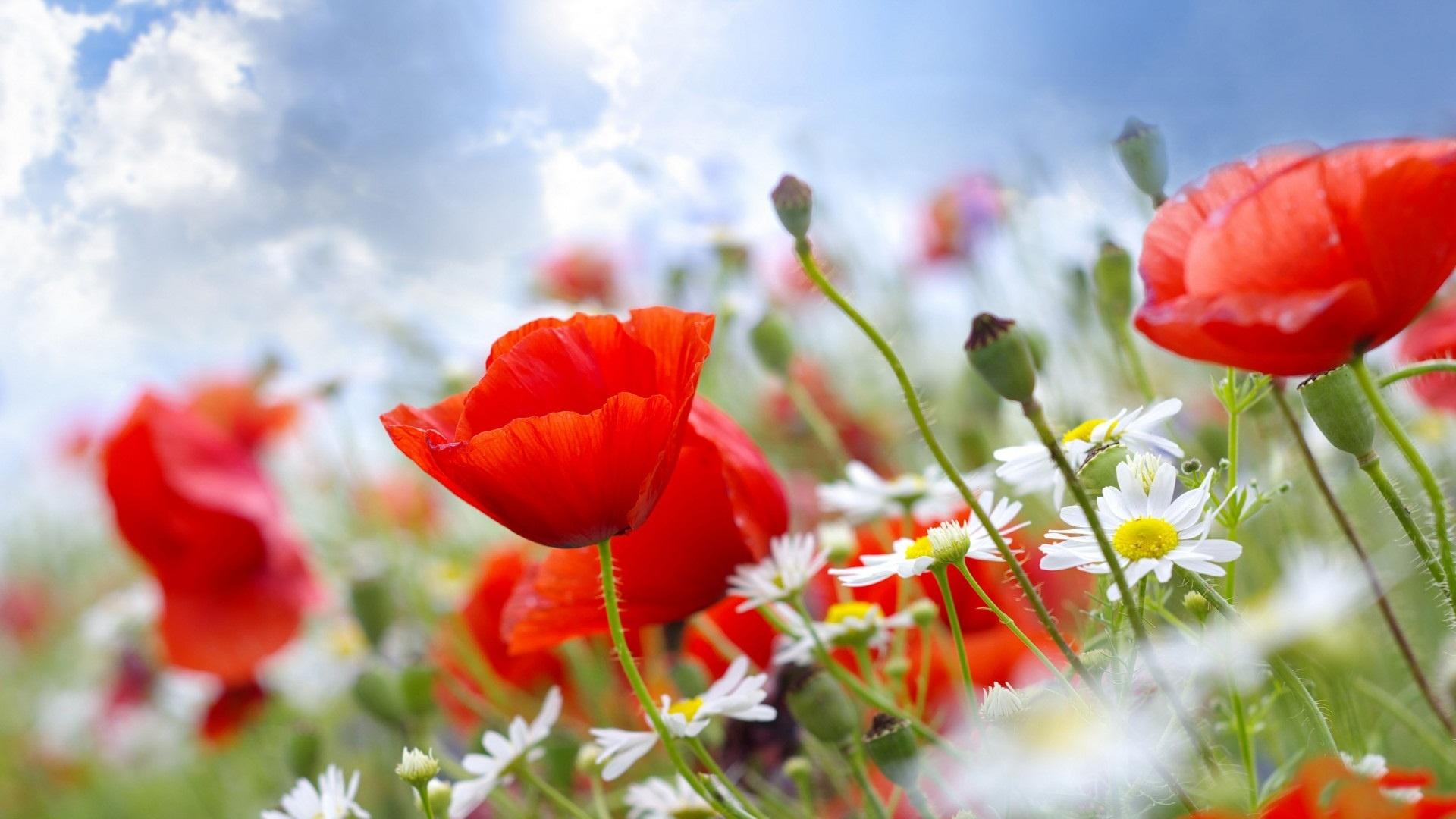flower wallpapers 1920x1080 red summer flowers 29990 30709 hd 1920x1080