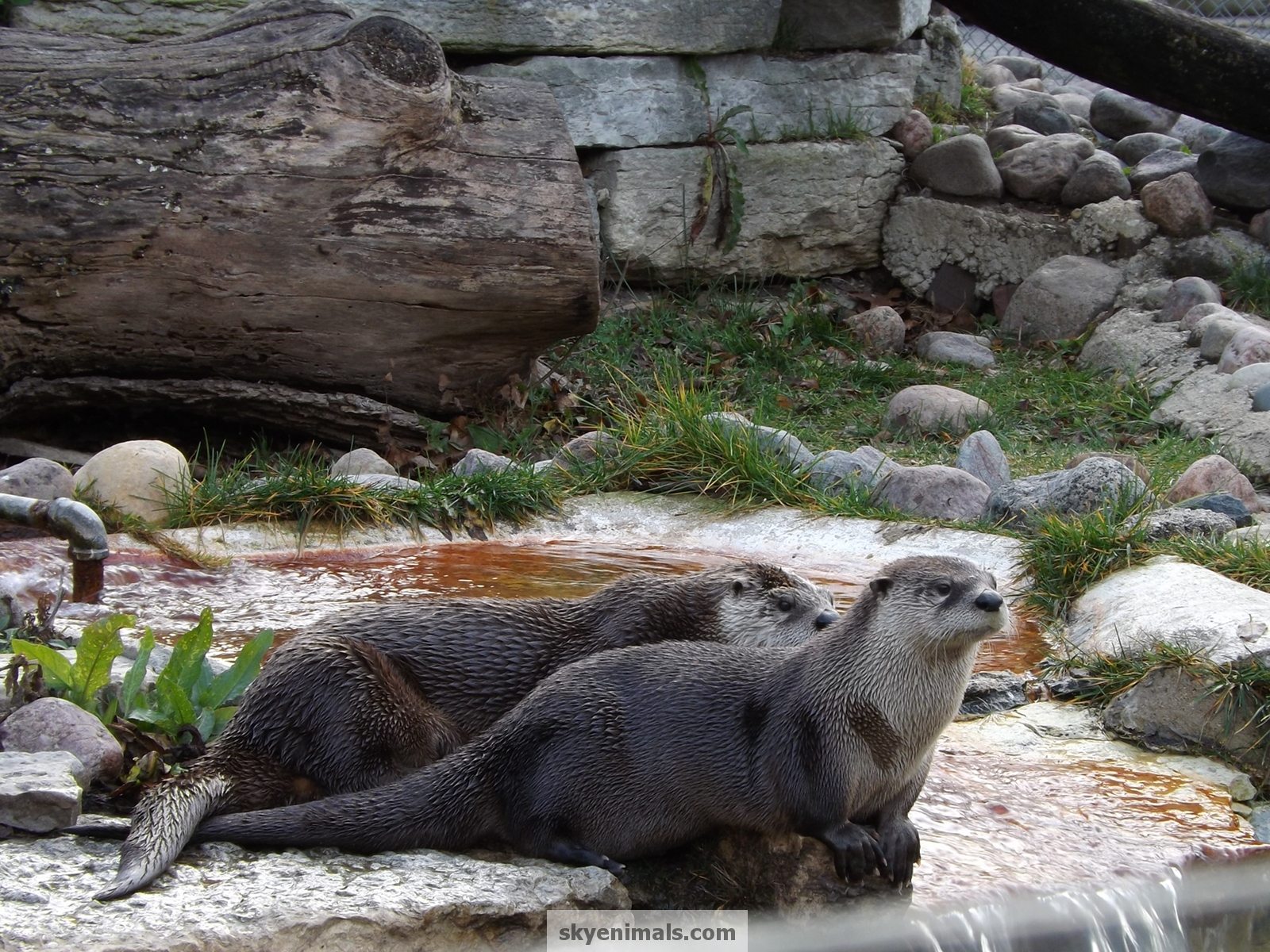 Wallpaper Images matching North American River Otter 1600x1200