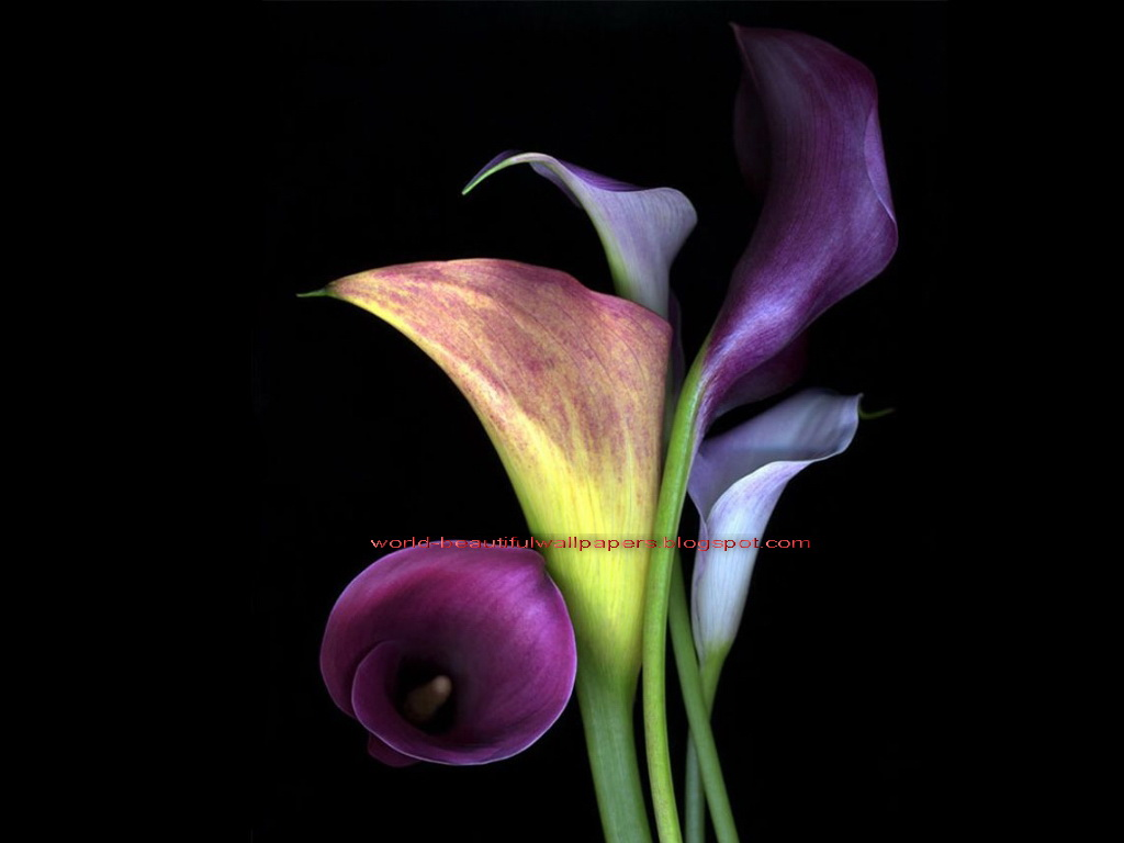 Beautiful Wallpapers calla lily flowers wallpaper 1024x768