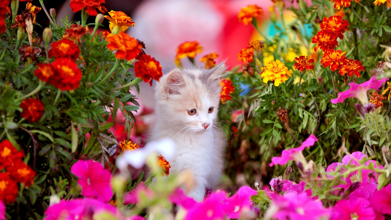 Cute Spring Kitten HD wallpaper background 1366x768