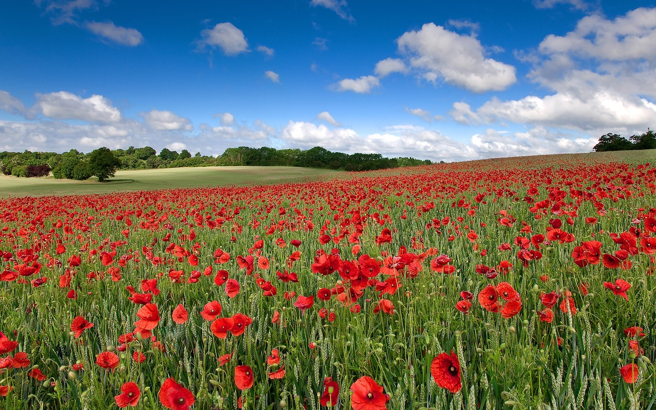 Field Of Remembrance Poppies Apple iPhone 5 Wallpaper download 1280x800