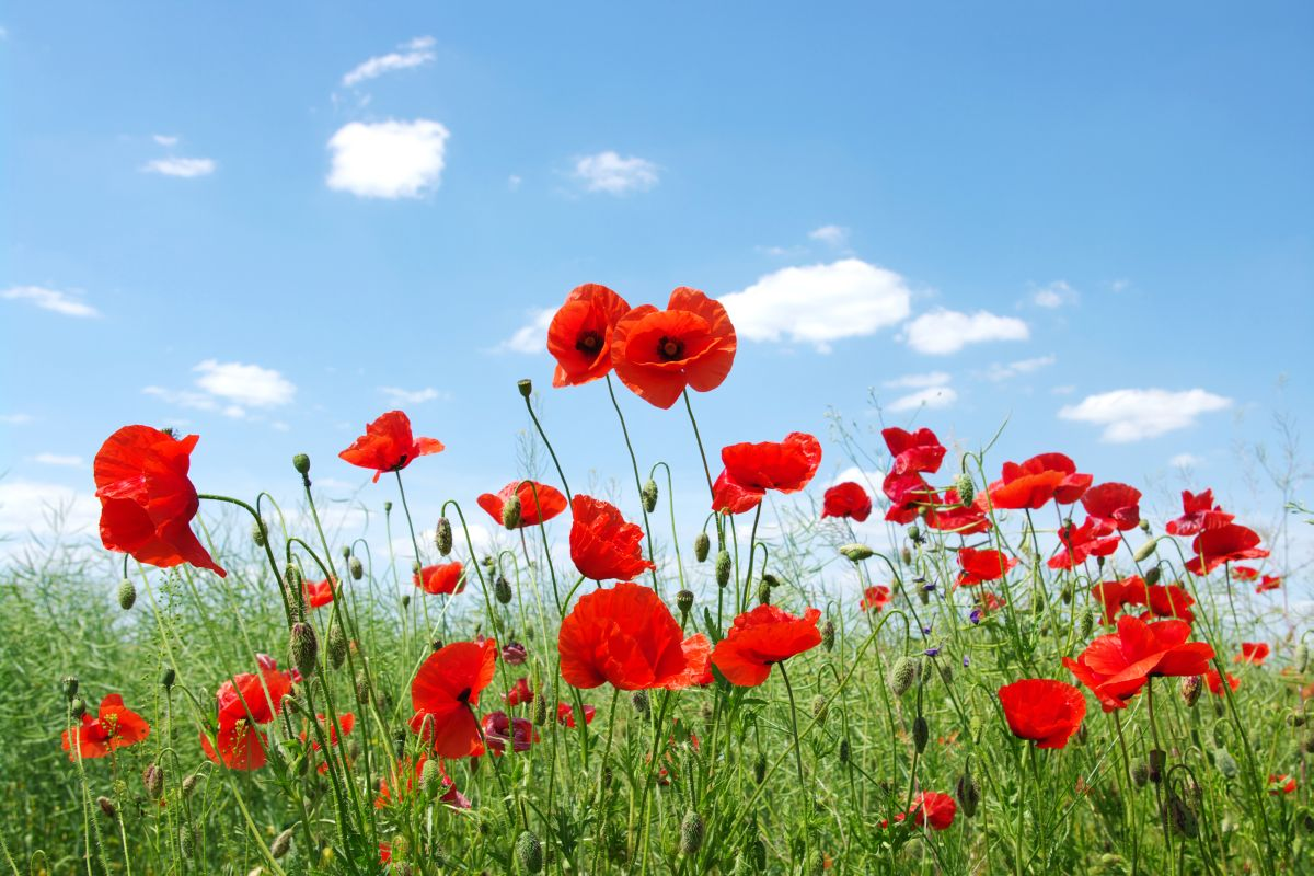 Field of Poppies Mural by Esta Home Wallpaper Direct 1200x800