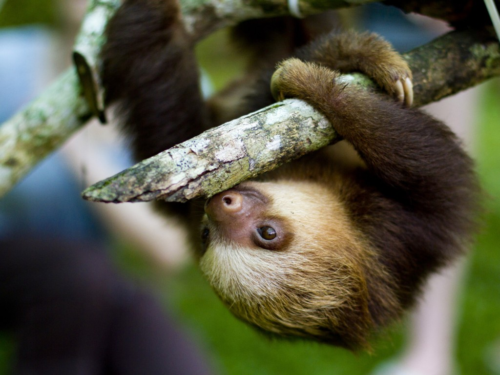 Sloth pictures in high definition or widescreen resolution Cute Sloth 1024x768