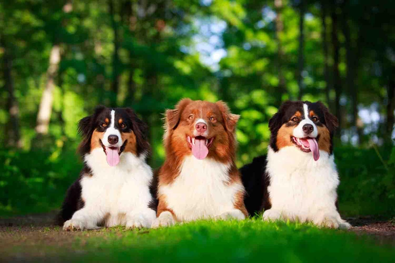 Australian Shepherd Wallpapers   Android Apps on Google Play 1350x900