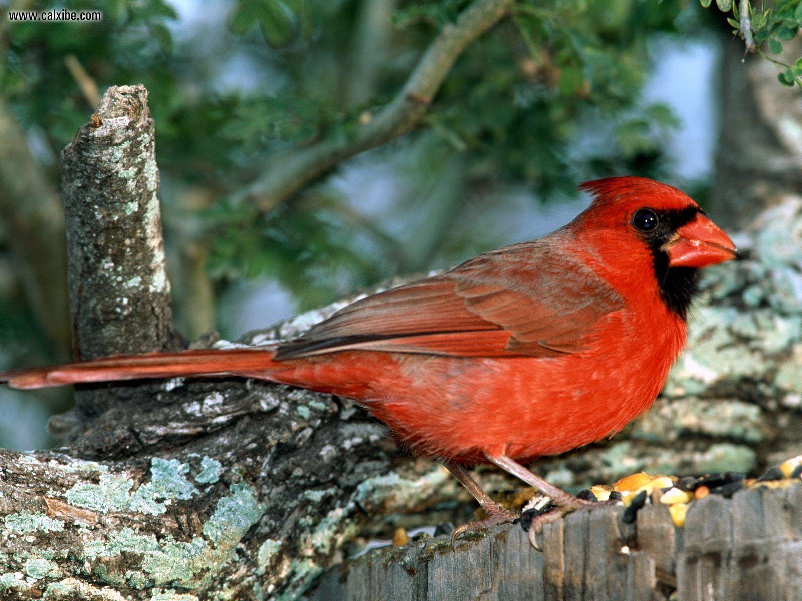Red Cardinal Animals 1600x1200