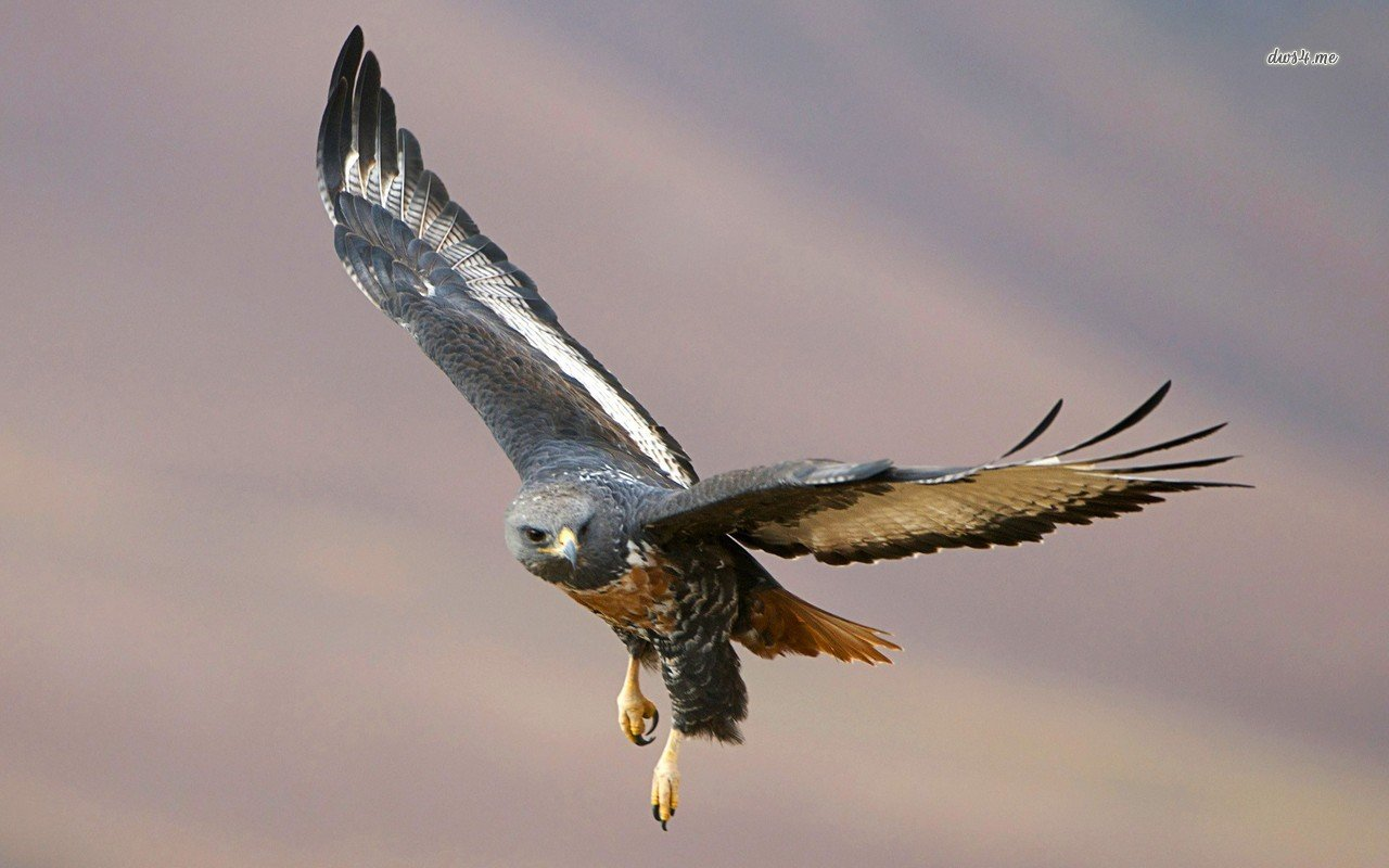 Hawk Wallpapers - WallpaperSafari