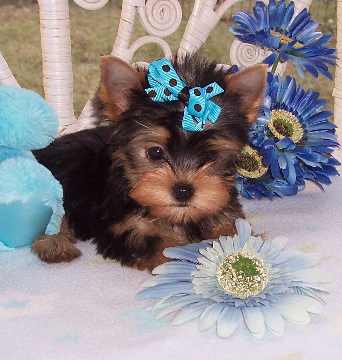 1024x768 wallpaper of yorkies - photo #23