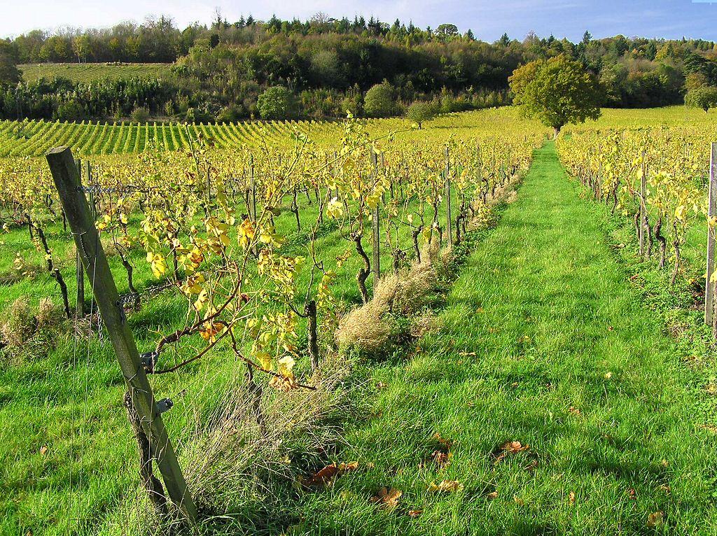 vineyard and wine wallpaper wallpapersafari