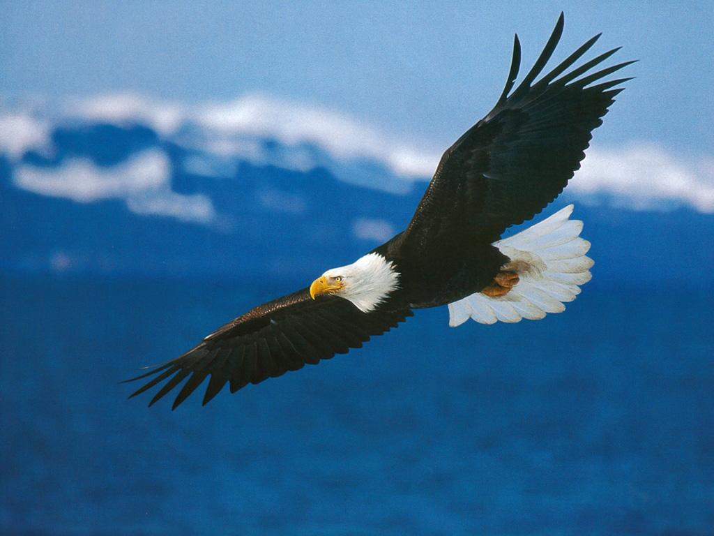 Animals   American Bald Eagle in Flight   Desktop 1024x768